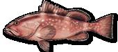 Miami Grouper