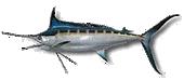 Miami Fishing Species Miami Marlin